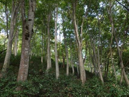 ブナ林とユキツバキ 鶴岡市朝日地域=自然写真家・... ブナ林とユキツバキ 鶴岡市朝日地域=自然